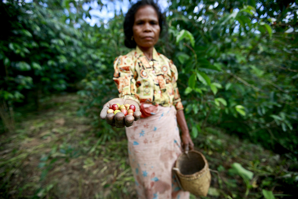 Coffee Pickers in TimorLeste  Coffee is one of Timor