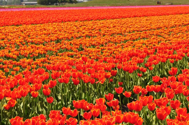 Tulip fields in Netherlands- Most surreal places to visit