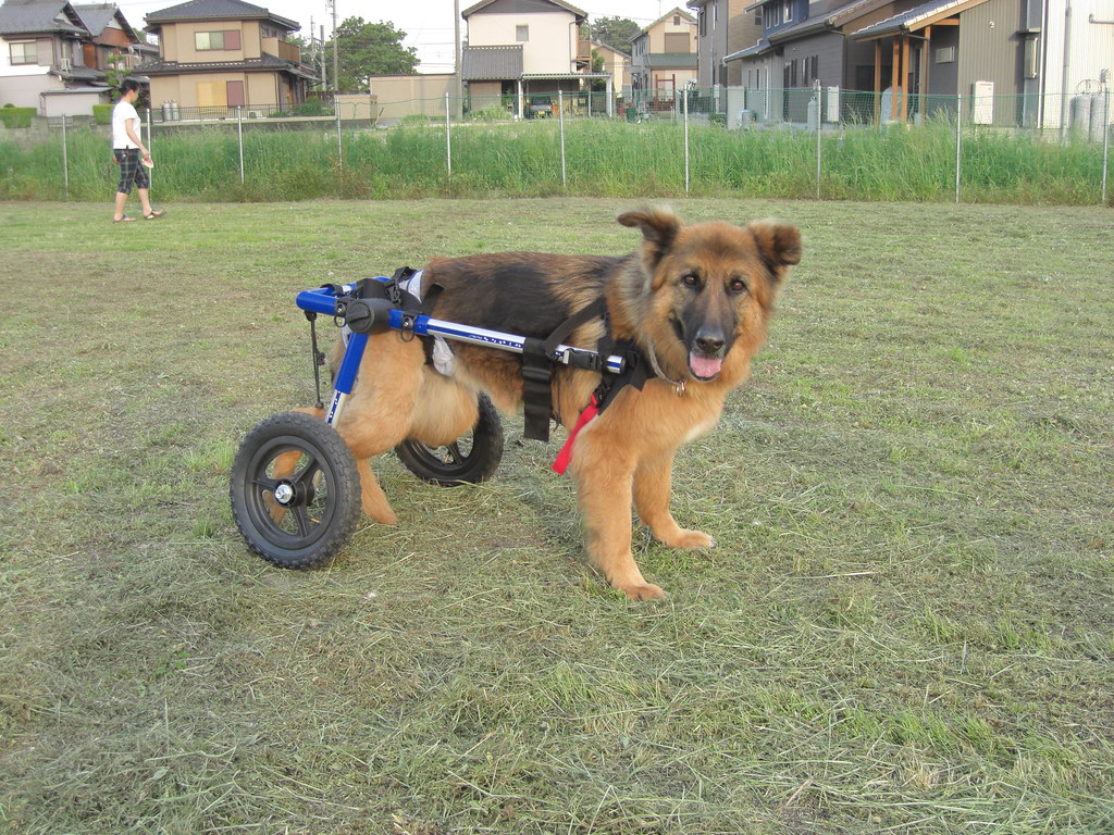 wheelchair dog dorm chairs kohls german shepherd for a