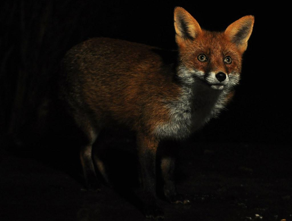 Night fox  Foxy visitor taken through the kitchen window