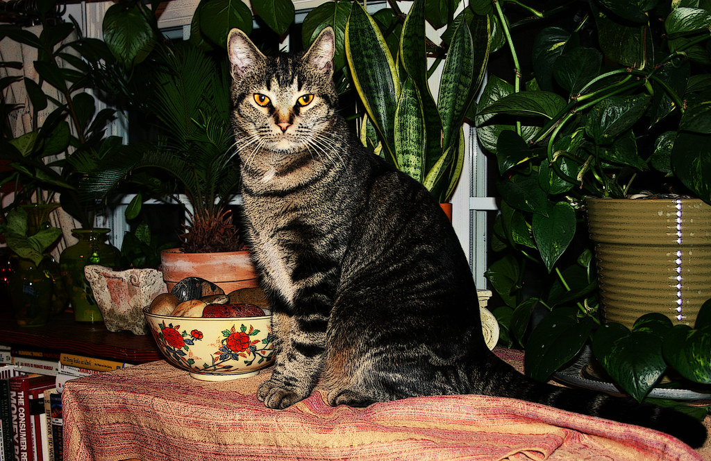 King George of the Jungle  Heres my bossy cat George