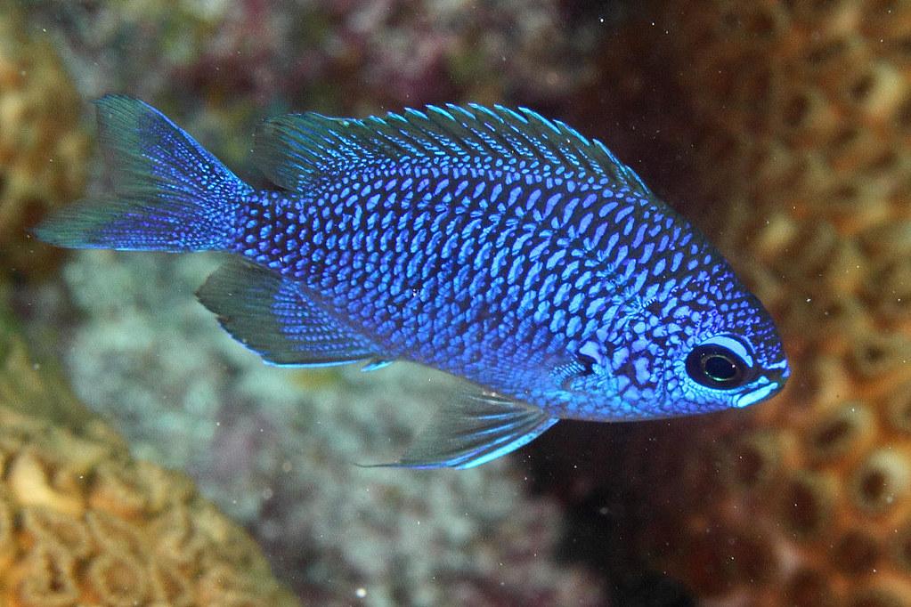 IMG_0350wxcrre Purple Reeffish Chromis scotti or Purple