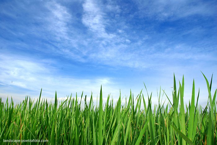 Foto Pagi Hijau Blue Sky in Indonesia  PADI HIJAU  BLUE