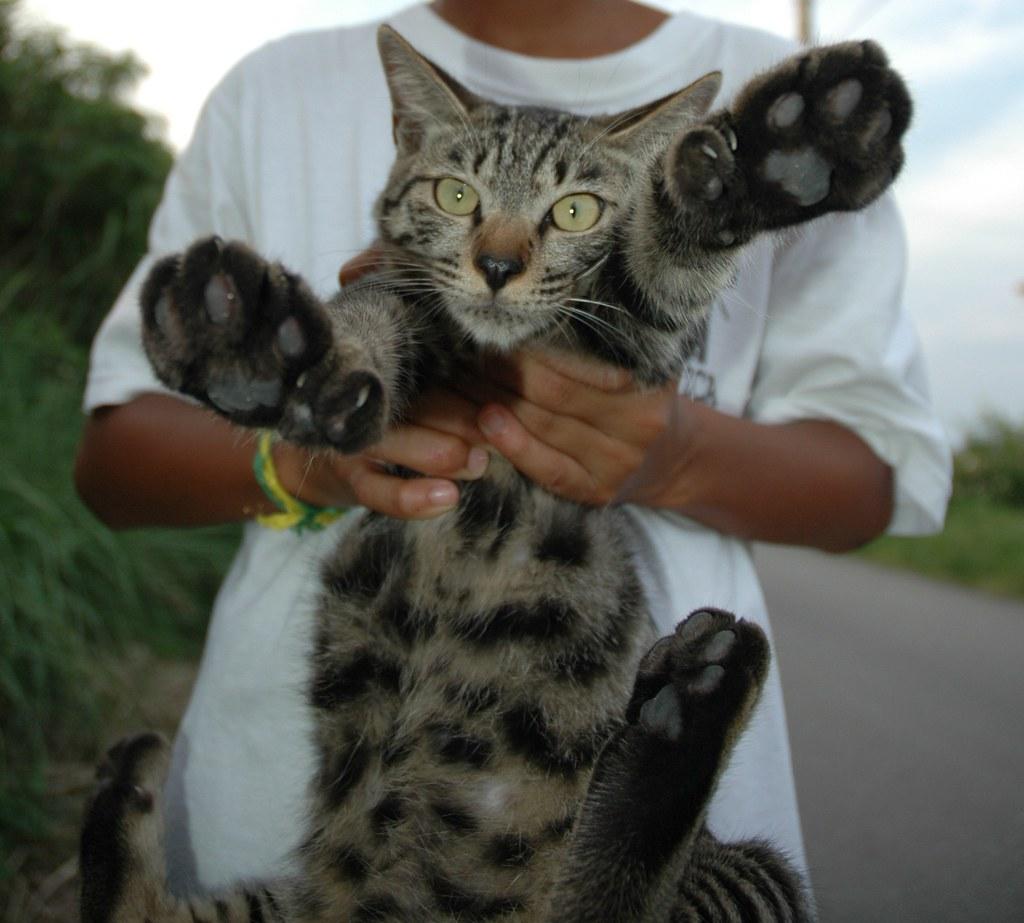"""Hemingway Cat """"Boots"""" Okinawa Hemingway Cat Name"""