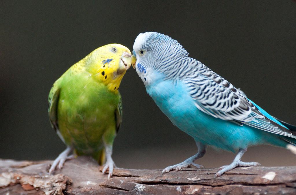 Parakeet Kiss  Eric Kilby  Flickr
