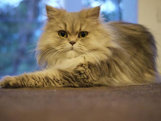 Grey Persian Cat  Chilerito  Flickr  Photo Sharing