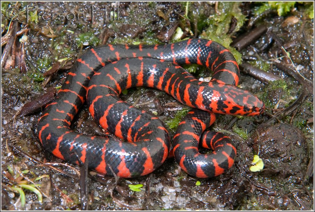 Eastern Mud Snake Farancia abacura abacura  Hatchling