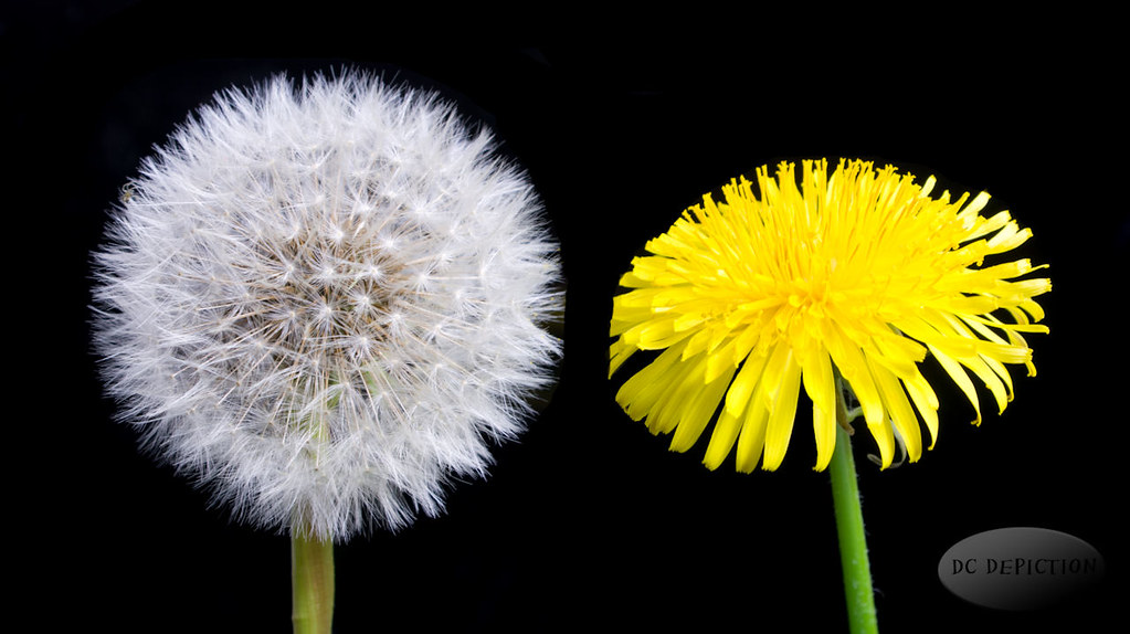 Life Stages  Dandelion  The Humble Dandelion  Darren Clarke  Flickr