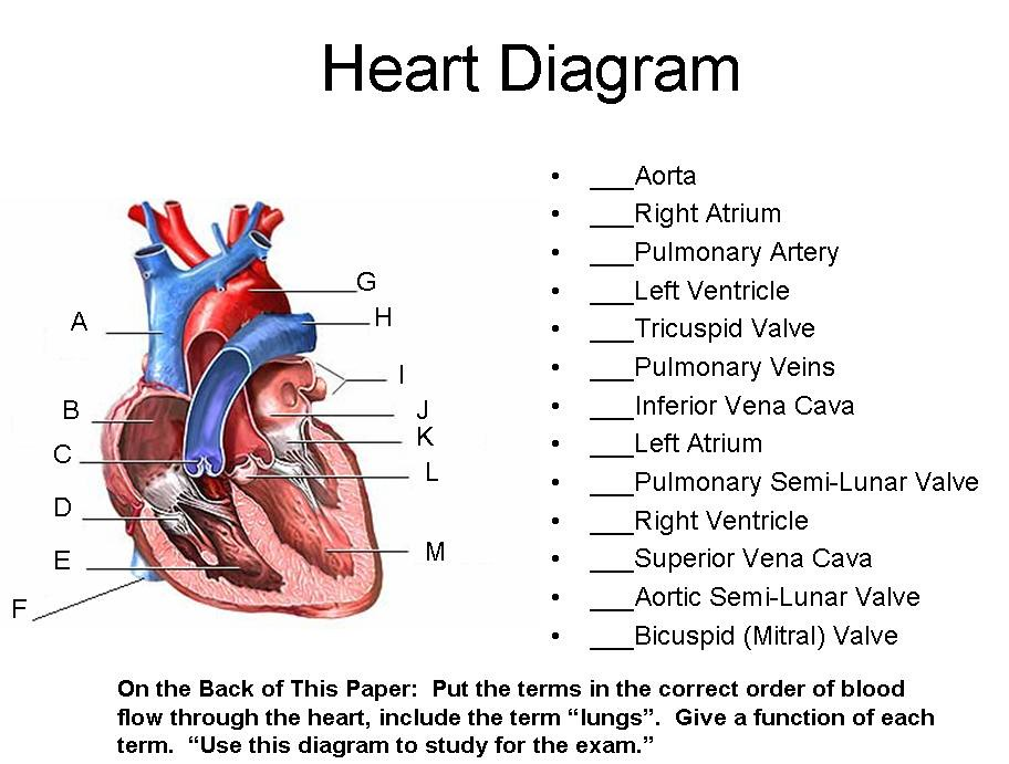 human skeleton diagram labeled for kids 2000 mercury grand marquis wiring heart | timothyakeller flickr