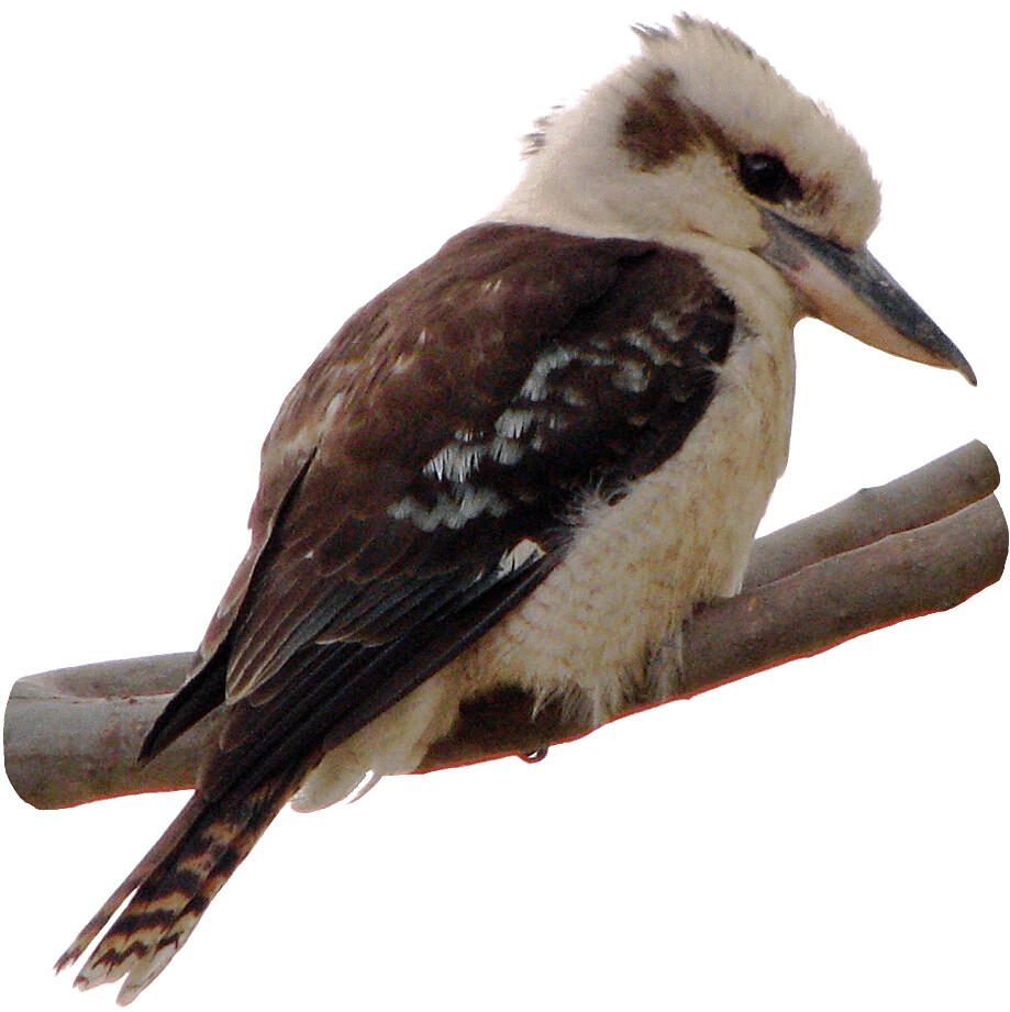 Kookaburra 3 On Branch Lge 13 Cm This Clipart Style