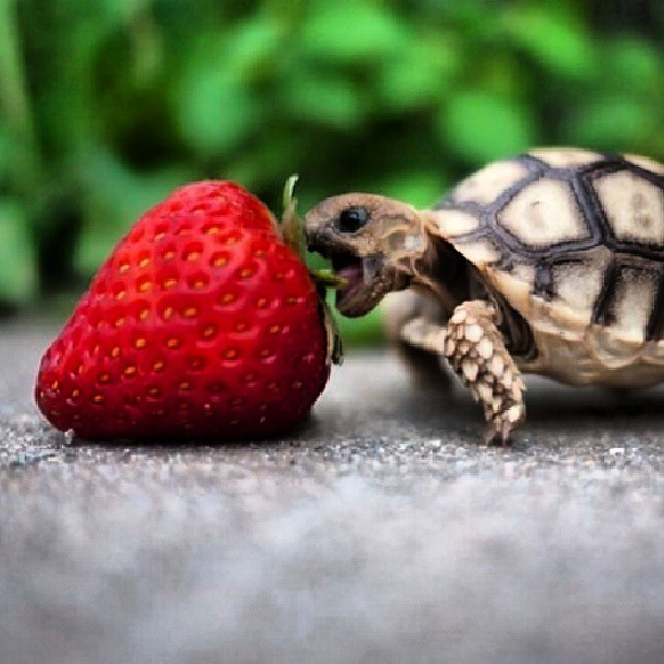 Cute Baby Lizards Wallpaper Saw This Turtle Trying To Eat A Strawberry On A Wall On Th