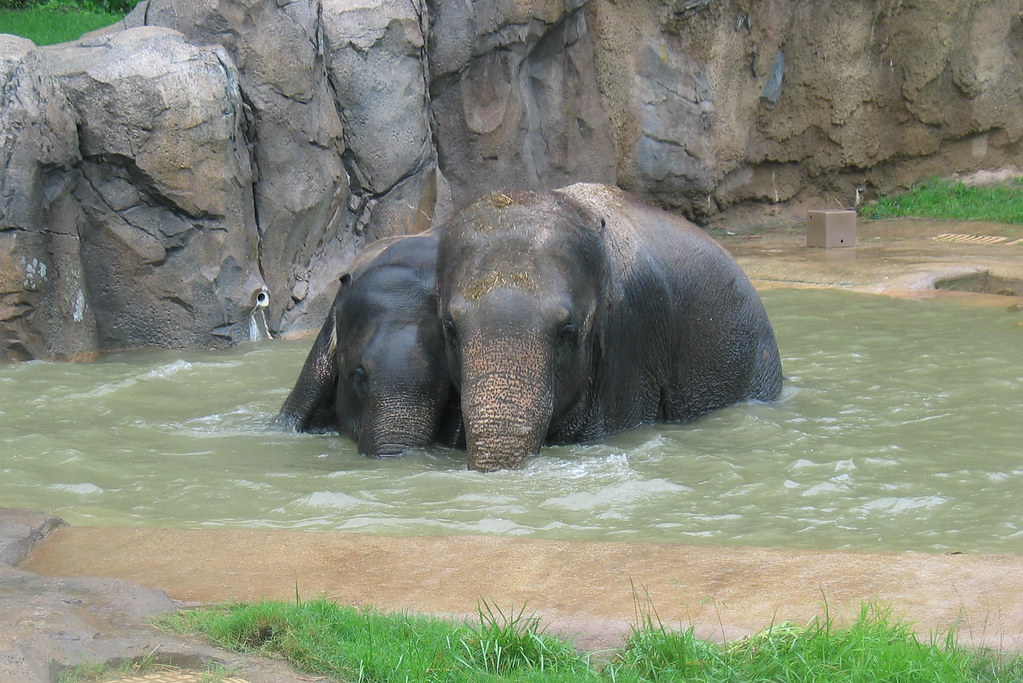 Shanthi and Kandula in pool  Photo Credit Smithsonians