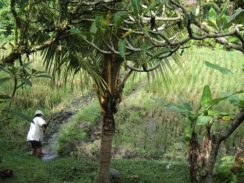 Patrimonio de la Humanidad en Asia y Oceanía. Indonesia. Paisaje cultural de Bali.