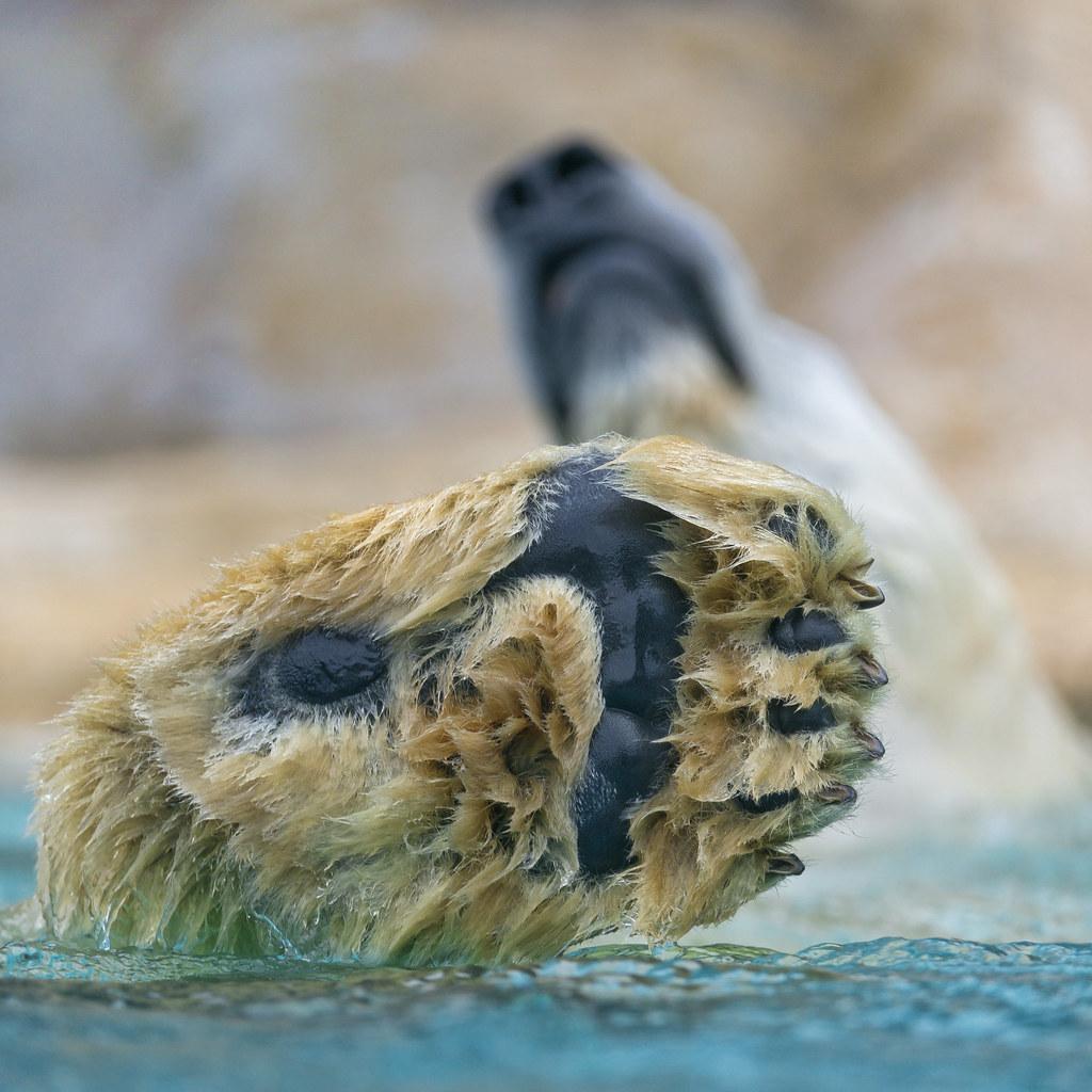 Polar Bear Paw And Head