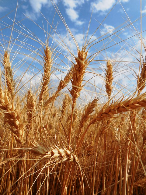 Beautiful wheat Enid, OK '13