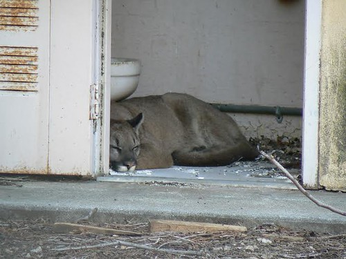 Mountain Lion Sleeping in the Bathroom  Flickr  Photo Sharing