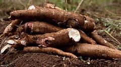 Arrowroot freshly harvested