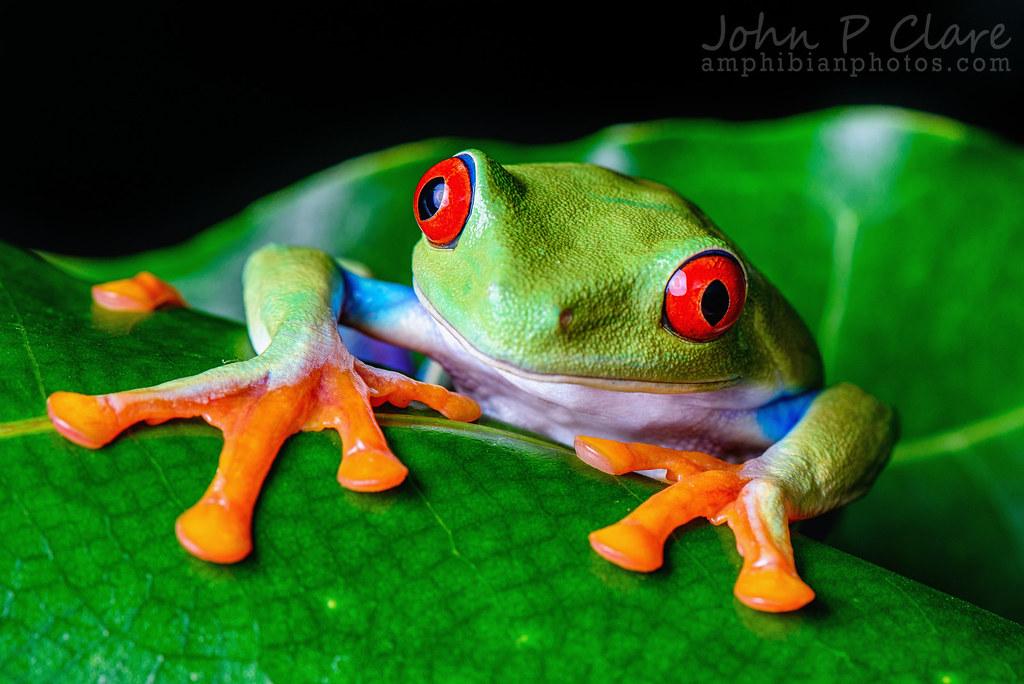 Red Animal Print Wallpaper Red Eyed Tree Frog Agalychnis Callidryas July 6th 2014