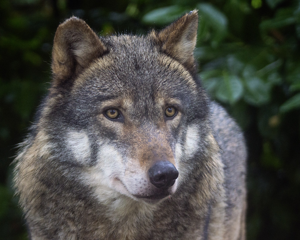 European grey wolf  Wolves are stunningly beautiful