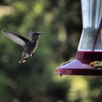 Nectar for our Hummingbirds