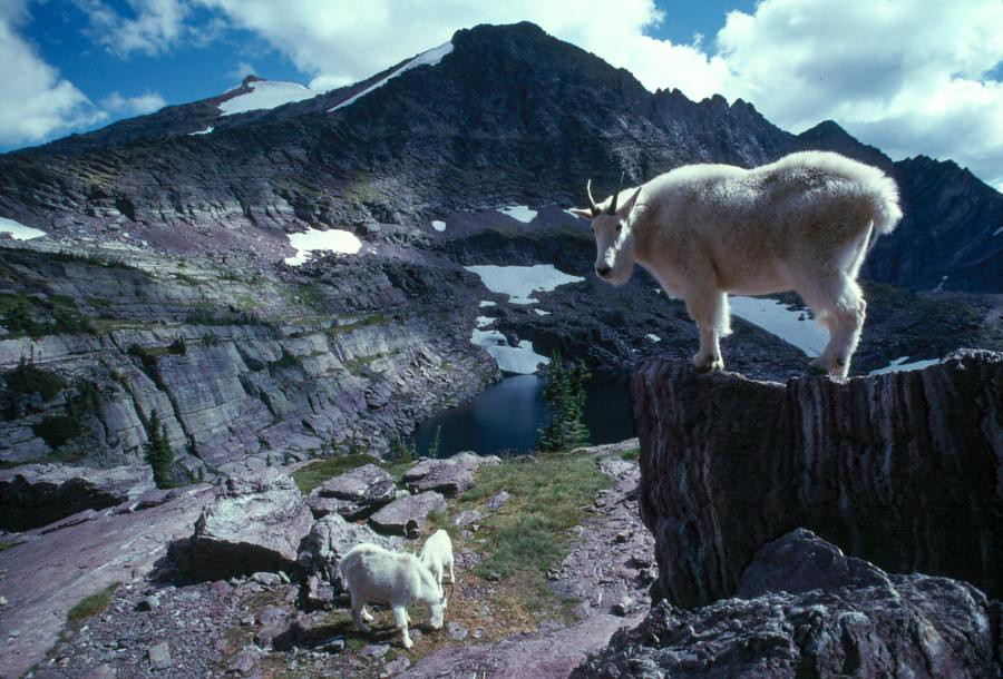 Fall Home Wallpaper You Looking At Me Mountains Goats In Glacier National Par