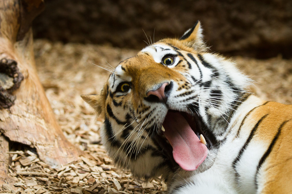 Funny tiger  A pic from Samur the male amur tiger at