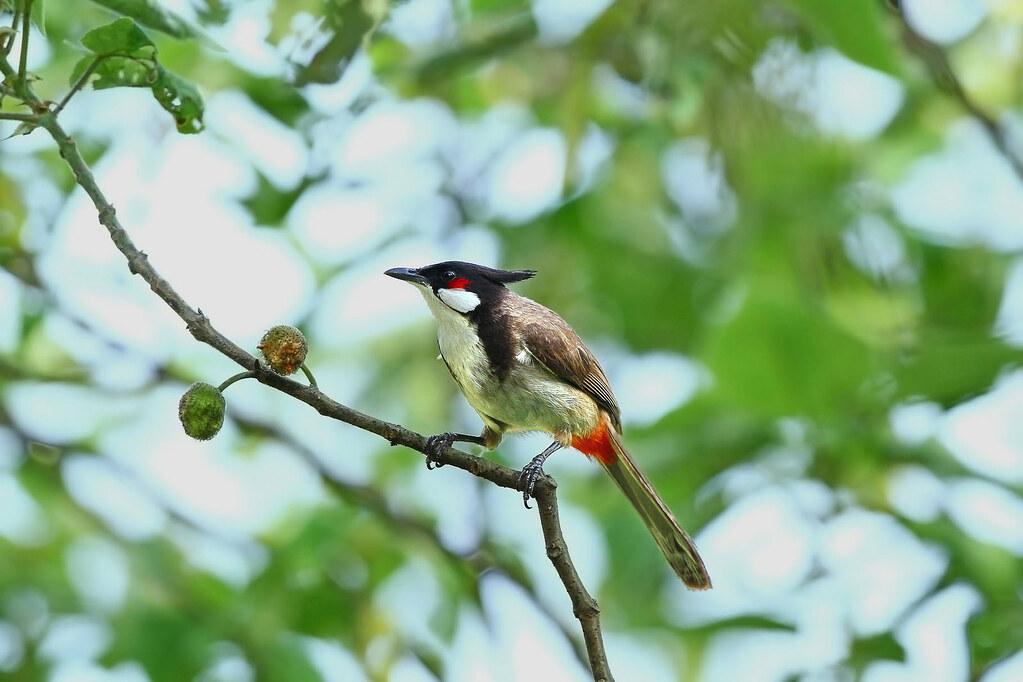 紅耳鵯 Red-whiskered Bulbul | 學名: Pycnonotus jocosus 英名: Red-wh… | Flickr
