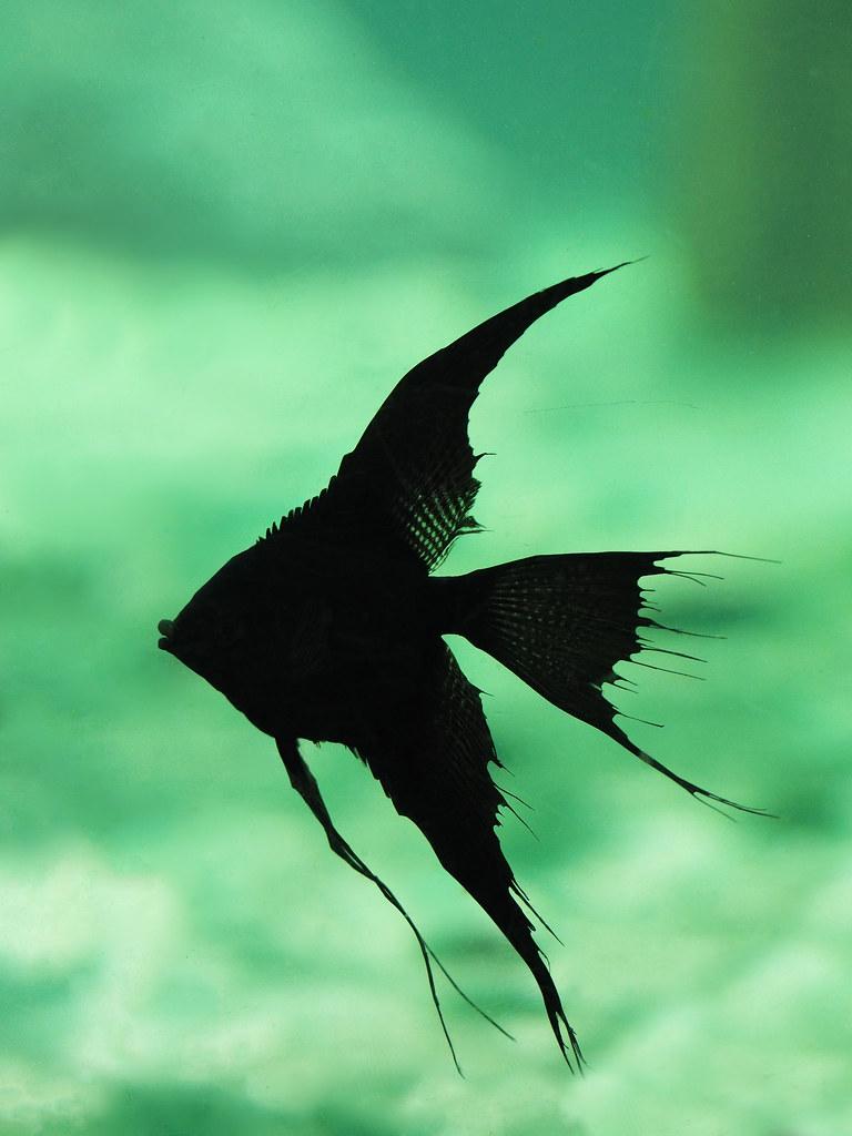 Double Dark Black Angelfish  Kew Gardens London