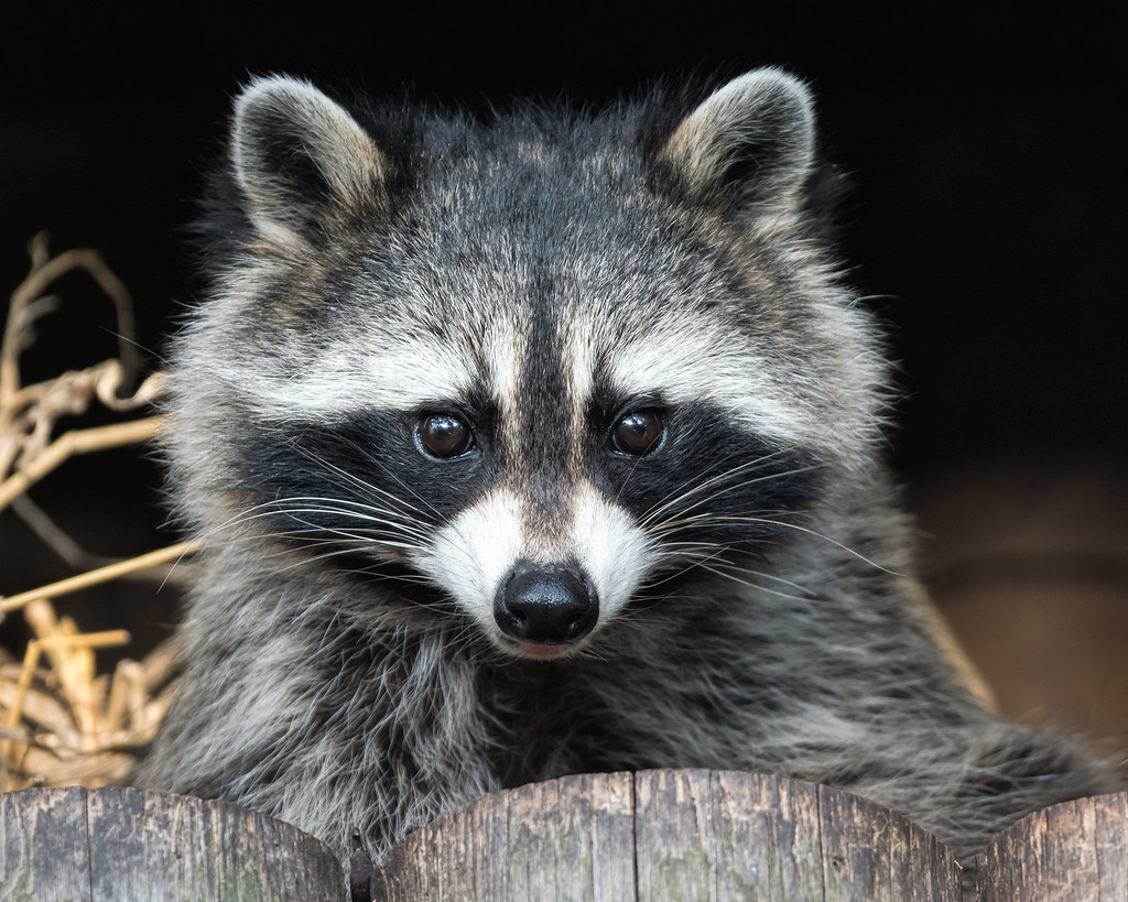 Raccoon  Ridiculously cute  Ill catch up with