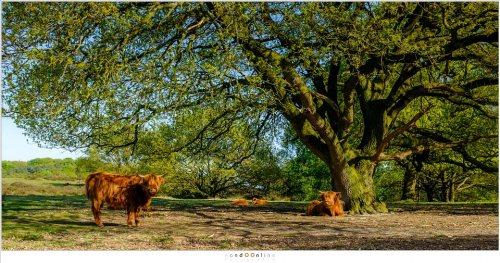 Schotse Hooglanders in het warme zonnetje (ISO200 - f/8 - 1/140sec velvia film simulation)