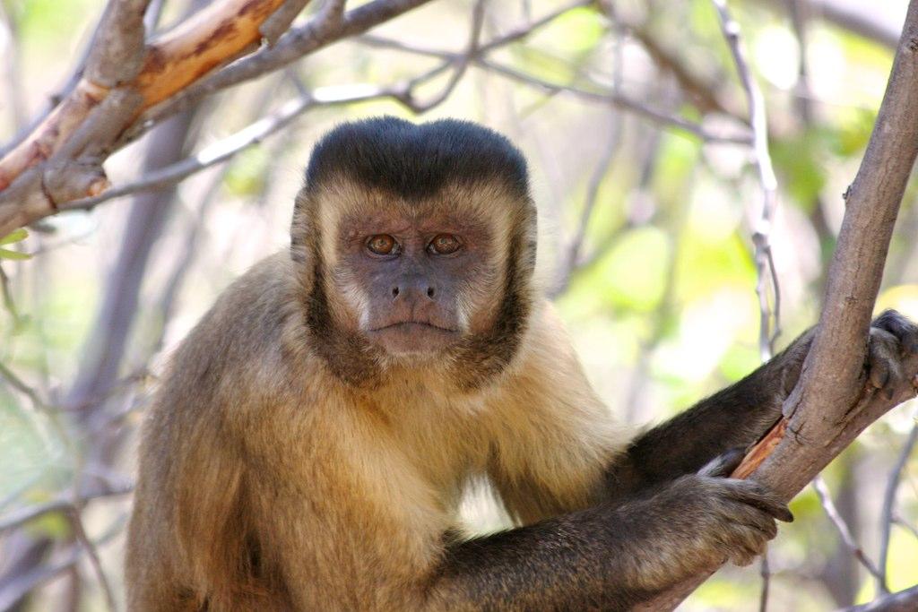 Macacoprego  Capuchin monkey  Macacoprego Sapajus