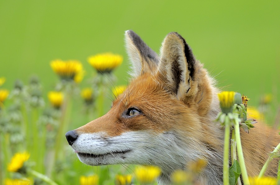 Animal Photo Wallpaper Norway Spring Fox Shutterstock Contributor Approved On