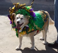 "Best Mardi Gras Costume | ""Nicky,"" a 13-year dog who was ..."