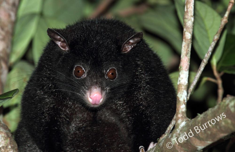 Shorteared Brushtail Possum Trichosurus caninus black f  Flickr