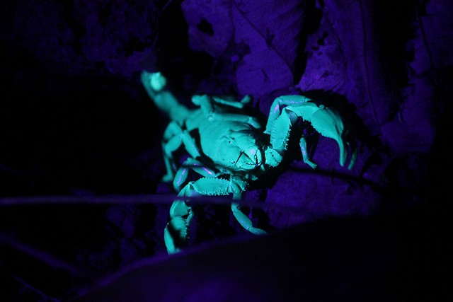Forest Scorpion at Jungle Night Walk
