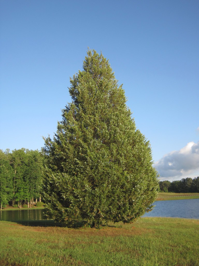 eastern red cedar  mollsie  Flickr