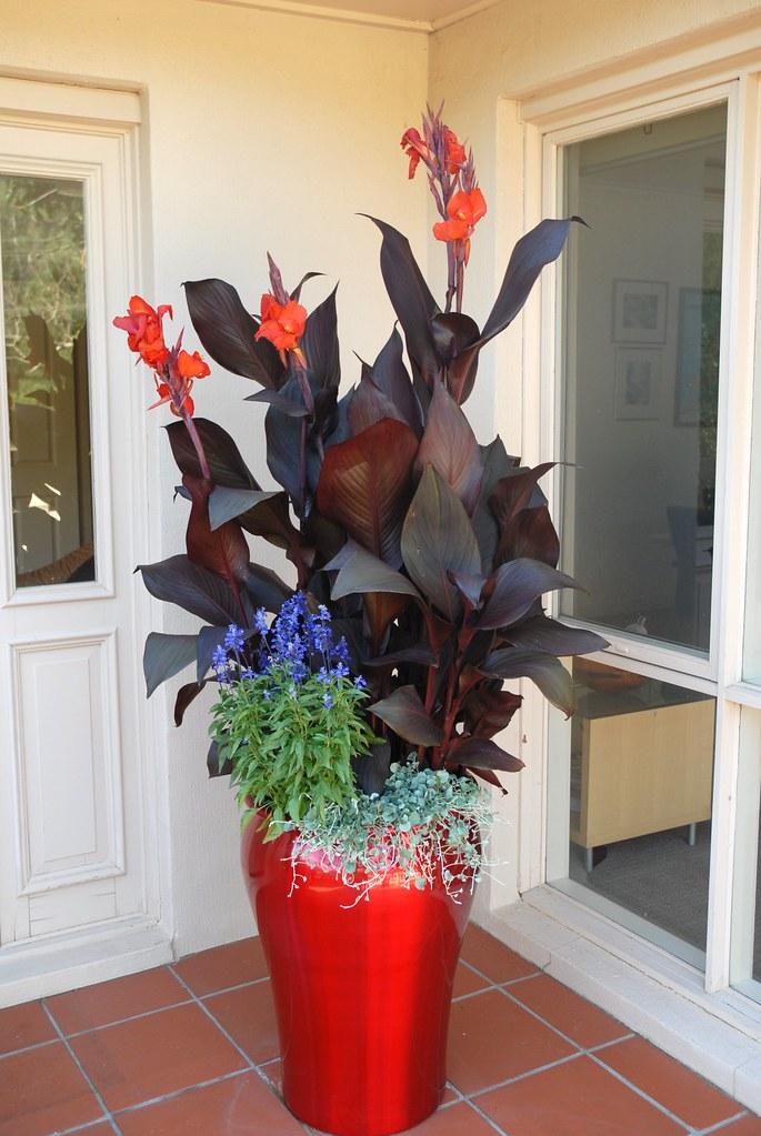 Tropicanna Black canna container garden red metallic pot