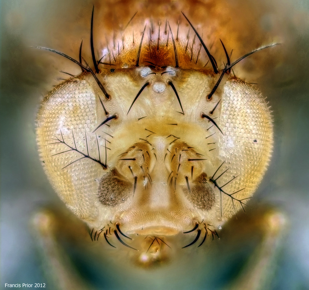 Fruit Fly Under The Microscope