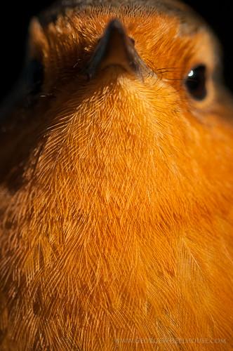 Robin Close-Up (Erithacus rubecula)