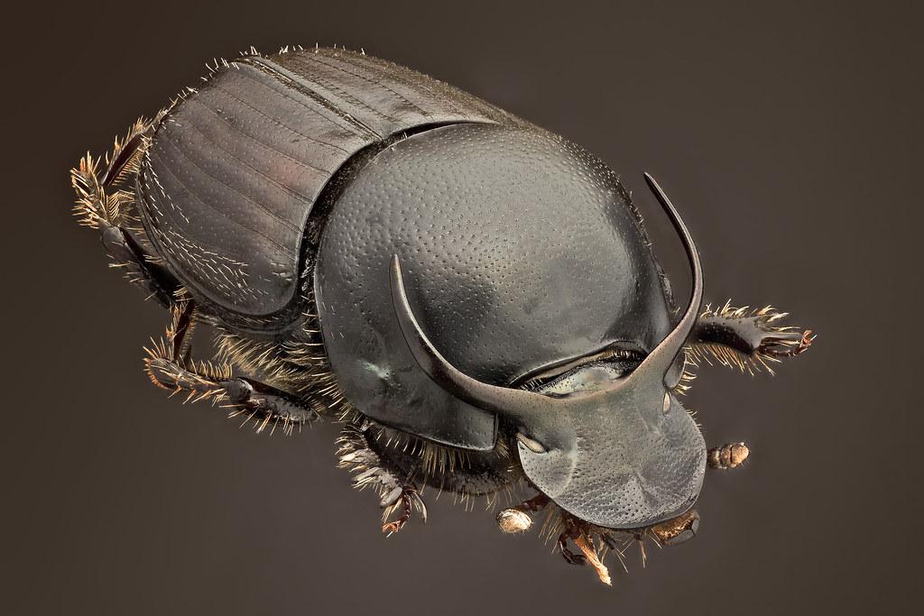 Onthophagus taurus  Schreber 1759  28 x Canon 5Dmk2