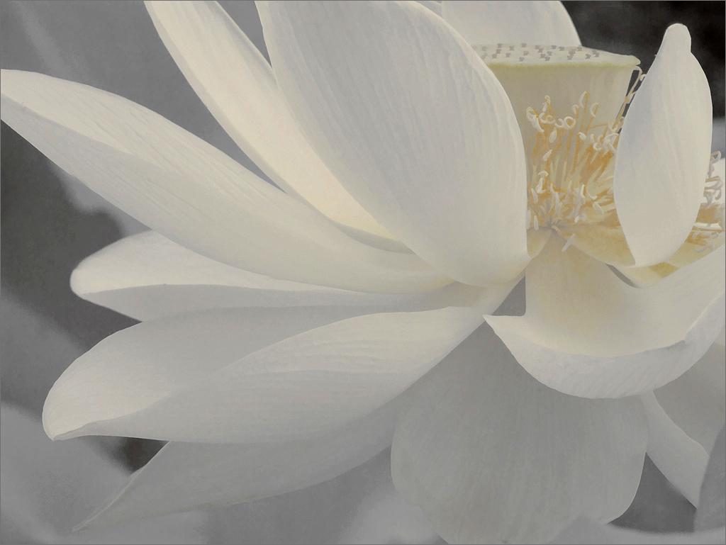 Wallpaper Black Green White Lotus Flower Petals Dsir2407 1000 White Lotus