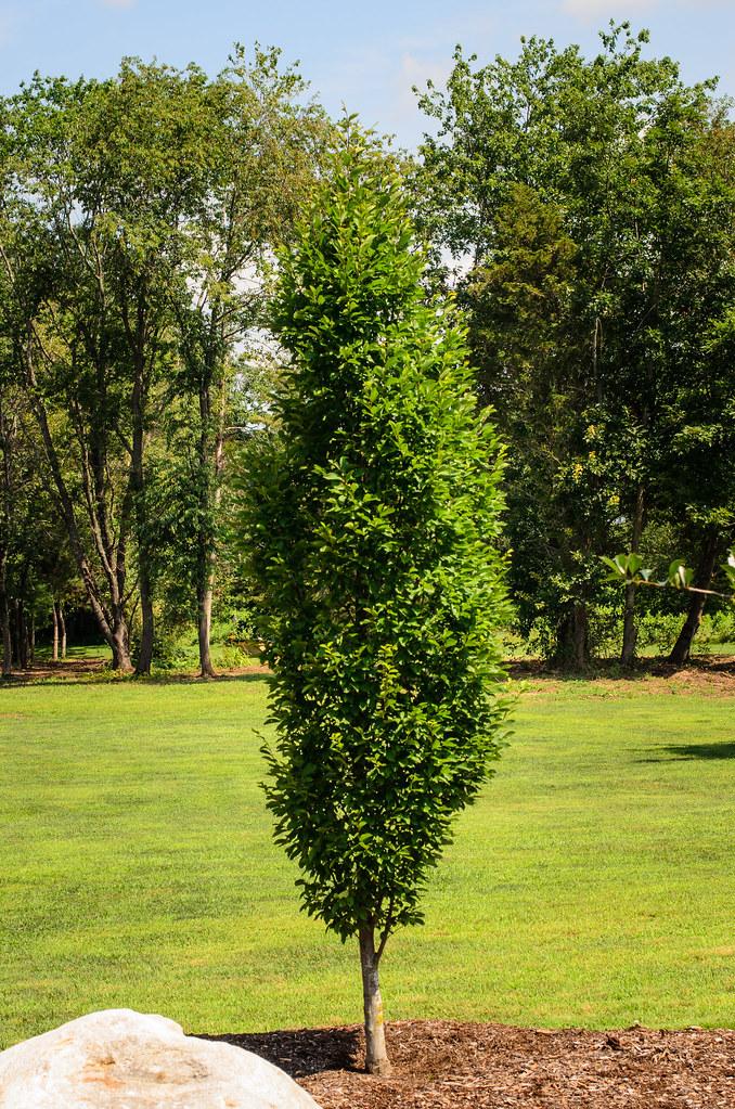 European Hornbeam  Carpinus betulus or Fastigiata