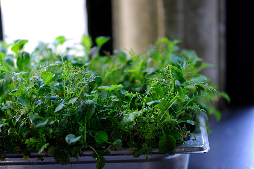 Growing micro cress in kitchen  Chefs at Great British