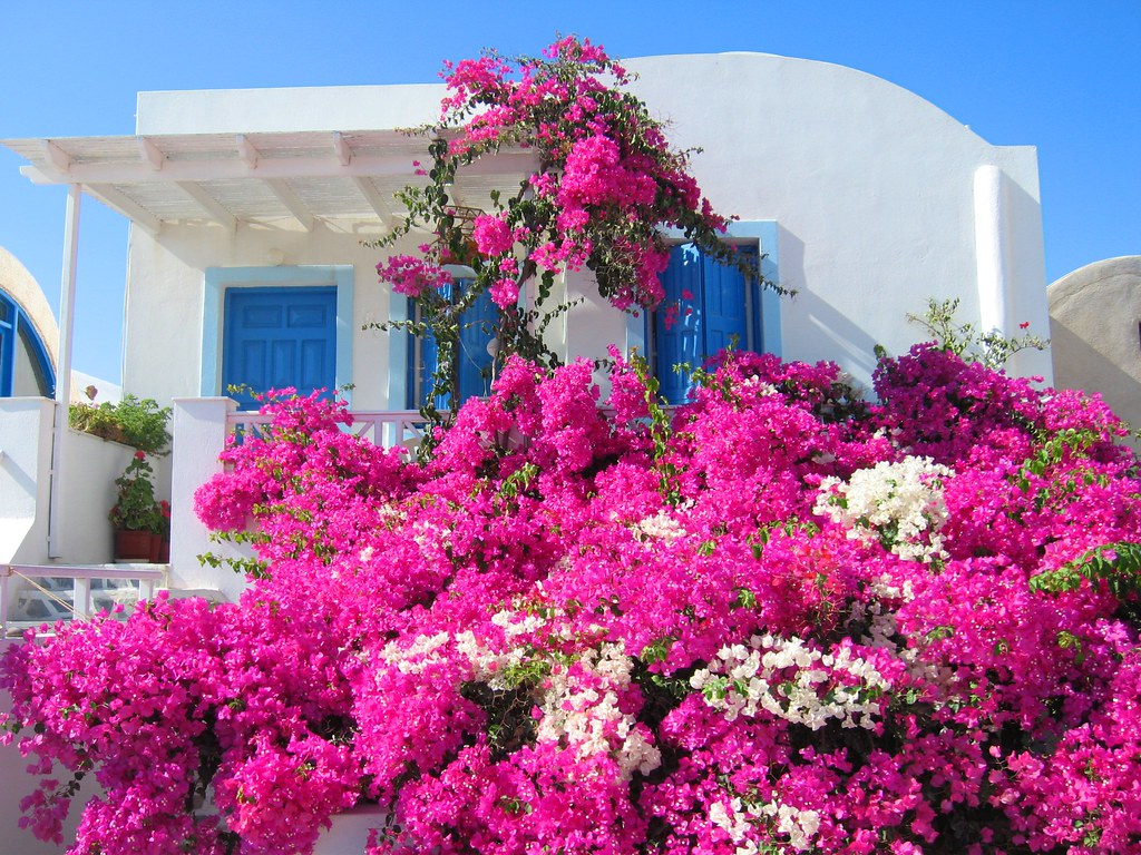 Bougainvillea And A Typical Greek Scene