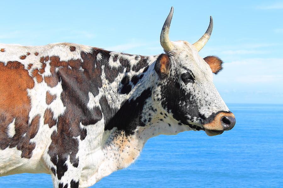 Nguni cow on the Wild Coast  garethphoto  Flickr