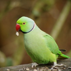 New Kitchen Play For Toddler Male Ring-necked Parakeet/halsbandparkiet (psittacula Kram ...