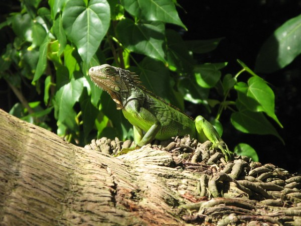 Iguana Luquillo Puerto RIco Flickr Photo Sharing!