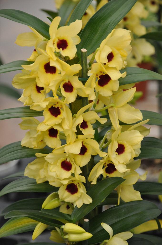 Dendrobium nobile Apollo  yellow form  Giardineria