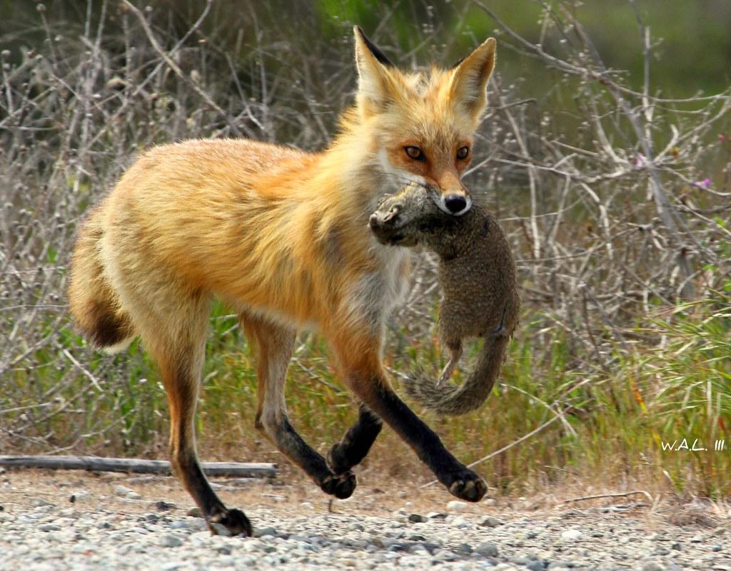 Predator Speed This Red Fox Ran Down This Squirrel So