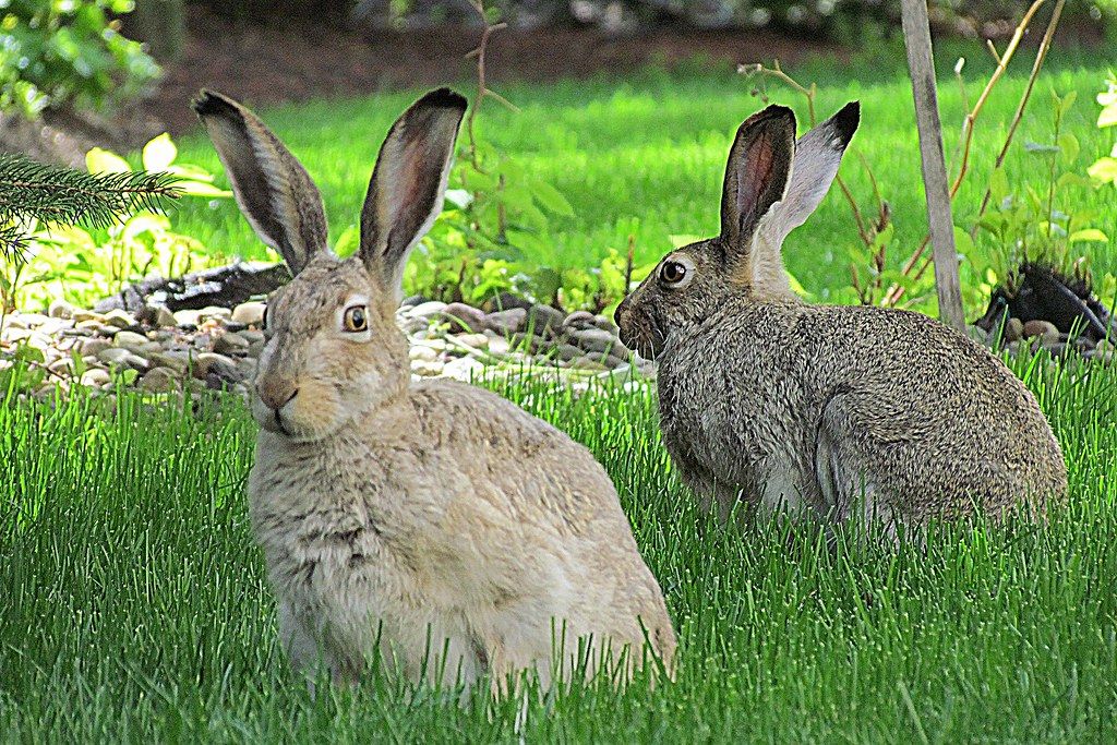 A Pair of Hare  A pair of Whitetailed Jackrabbits photogra  Flickr